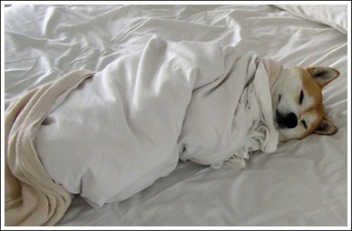 dogs-in-blankets-22