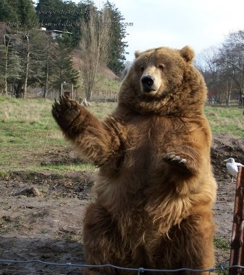 bear waving greeting