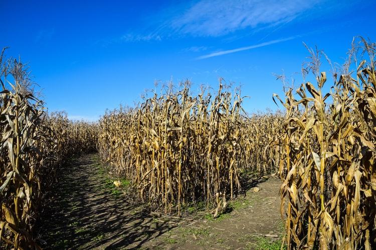 Chilliwack Corn Maze and Pumpkin Farm in Chilliwack