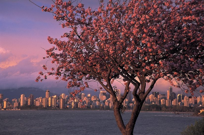 Cherry Blossom Festival 2017 in Vancouver