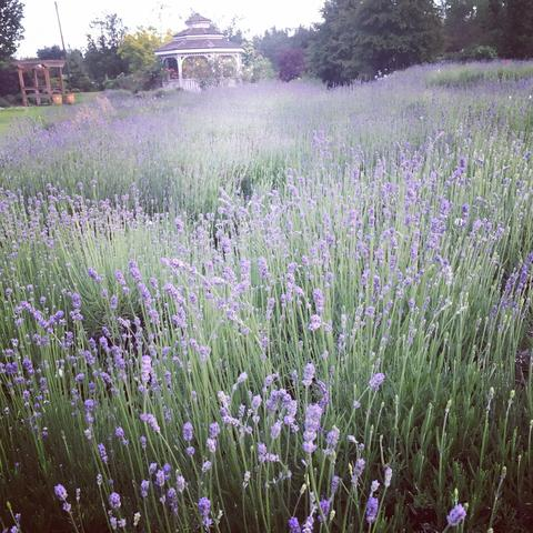 Lavender Open House in Abbotsford