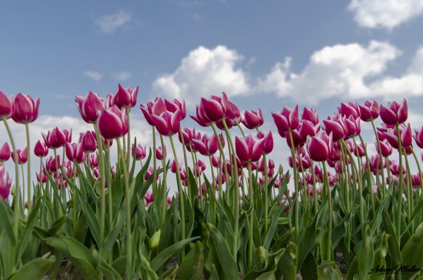 Chilliwack Tulip Festival 2019 in Chilliwack