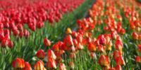 Bloom Abbotsford Tulip Festival