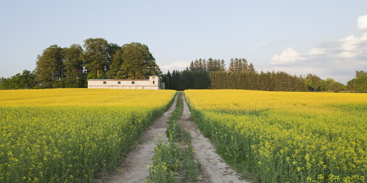 Canola farms in Brampton Ontario
