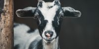 Goats Pride Dairy – Open House