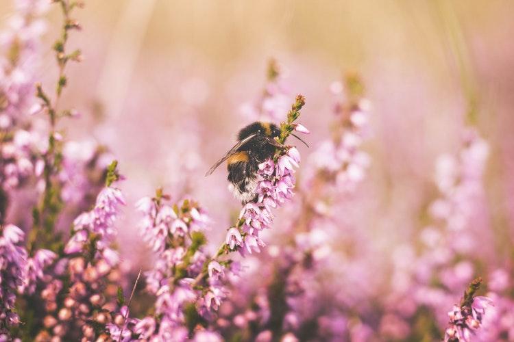 Bees & Blueberries Festival in Maple Ridge