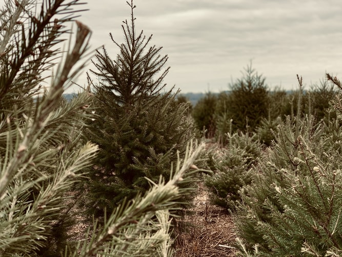 Opening Day at Murphy's Christmas Tree Farm in Maple Ridge