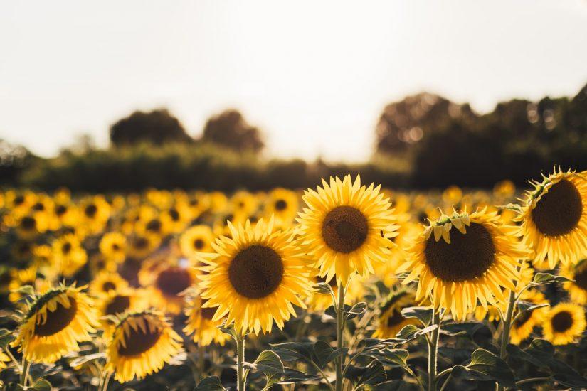 Richmond Sunflower Festival in Richmond
